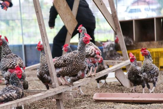 鶏イベントの様子